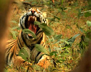 Bandhavgarh Wildlife Safari Tour From Bangalore